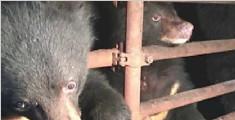 云南村民圈养3只黑熊吸引游客 被森警抓获