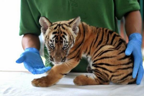 广州动物园时隔15年再有华南虎诞生