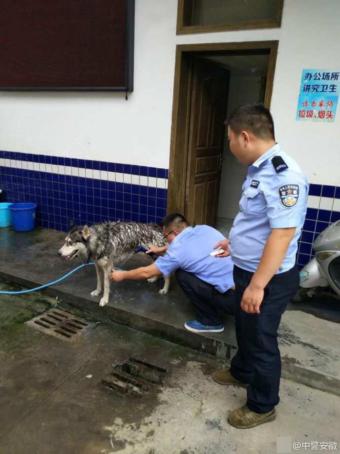 迷路哈士奇钻鸡窝咬死鸡仔 警察为其洗澡