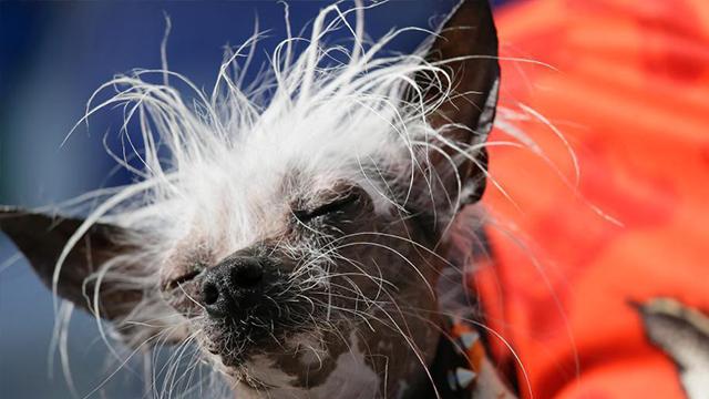 世界最丑狗狗诞生 萌犬丑出天际