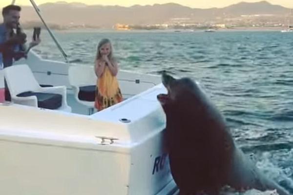 """奇葩海豹趴船尾""""索要""""食物 得手后欢脱逃离"""