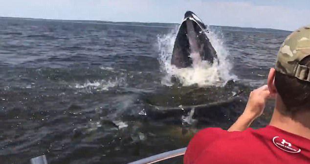 18米长座头鲸从船边跃出水面 船员惊叫连连