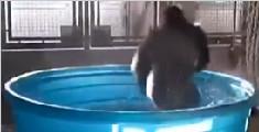 大猩猩澡盆戏水舞姿迷人
