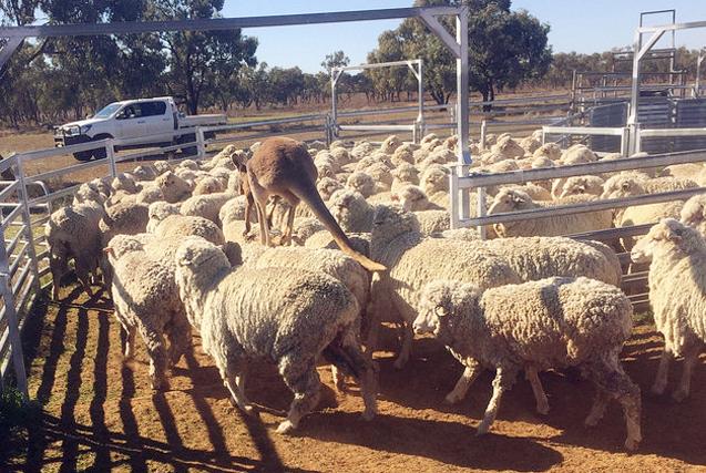 """澳袋鼠代班当""""牧羊犬"""" 指挥羊群"""
