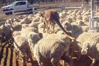 """澳袋鼠代班当""""牧羊犬"""""""
