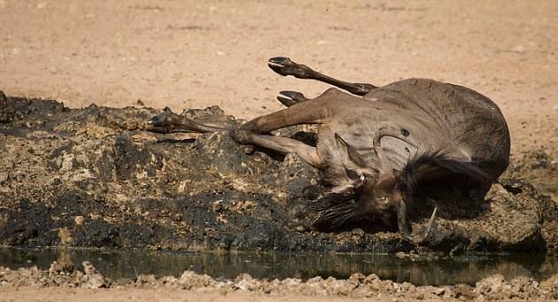 南非一角马打斗中受重伤幸获两同类帮助