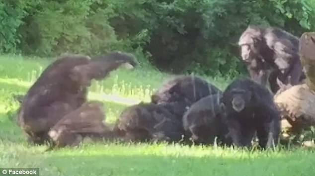 美动物园一猩猩树上摔落 被同类群殴致死