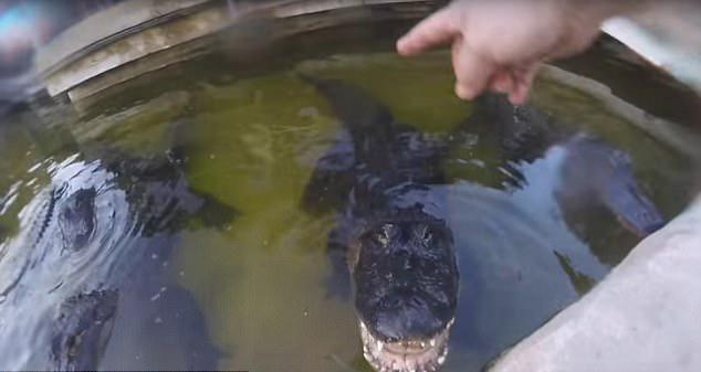 惊险! 美男子头戴运动相机捕捉鳄鱼咬合瞬间
