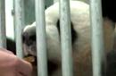 熊猫在柏林动物园第一天
