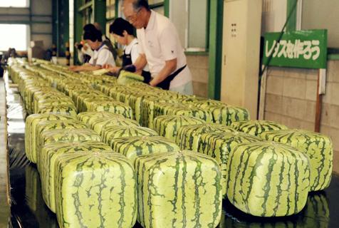日本方形西瓜上市 单价超过90美元