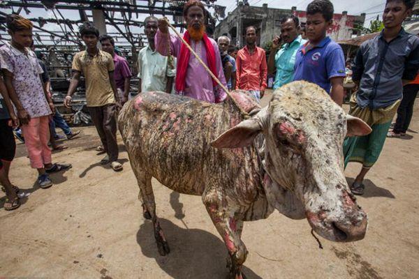 孟加拉牲畜市场发生大火 至少23头牛羊被烧死