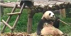 熊猫团子被吓出翔来