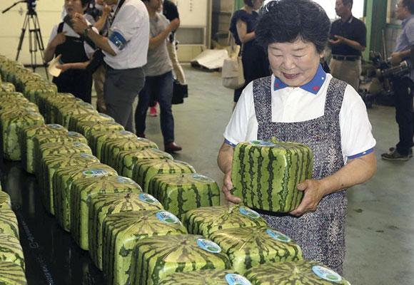 日本特产方形西瓜上市 标价超过90美元