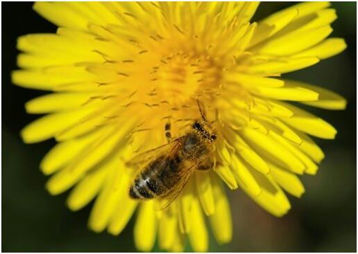 研究:一般农用新烟碱类杀虫剂可致蜜蜂死亡