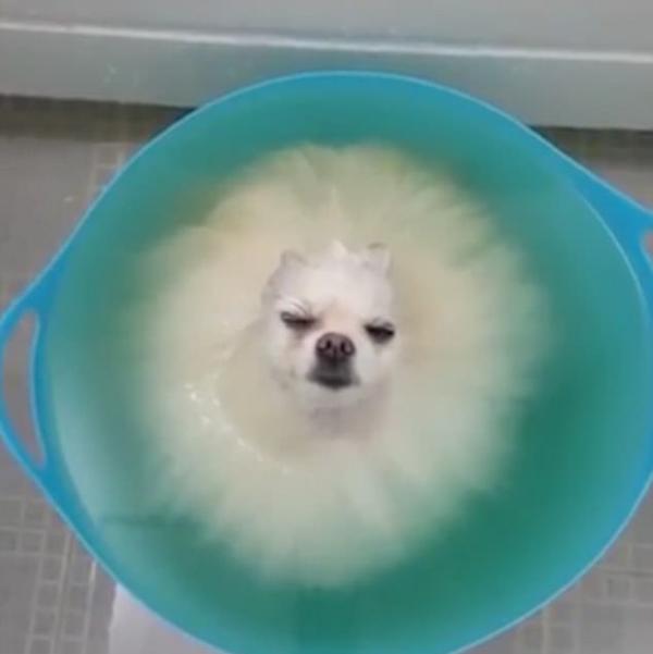韩博美犬泡澡放松意外睡着视频走红网络