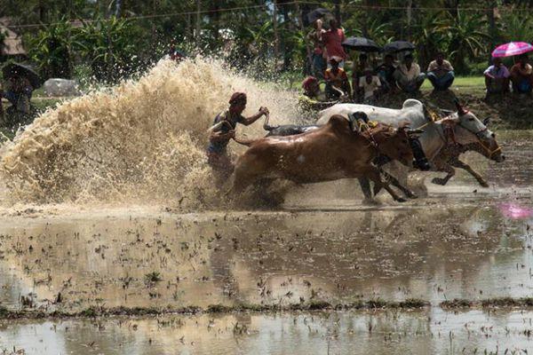 印度举办赛牛大会 农民驾牛飞驰泥水四溅求丰收