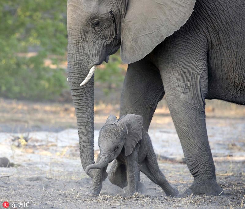 非洲新生象宝宝蹒跚学步 动作呆萌