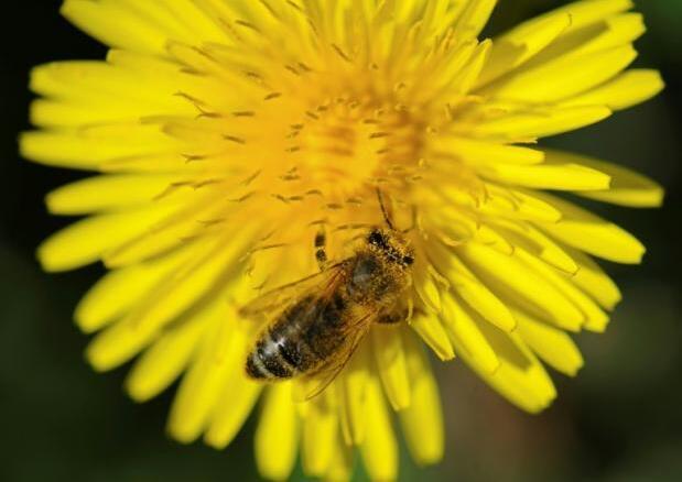 欧洲大规模田野研究证实:杀虫剂也是蜜蜂杀手