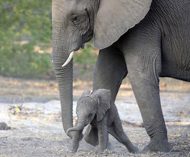 博茨瓦纳新生小象学站立意志坚定惹人怜