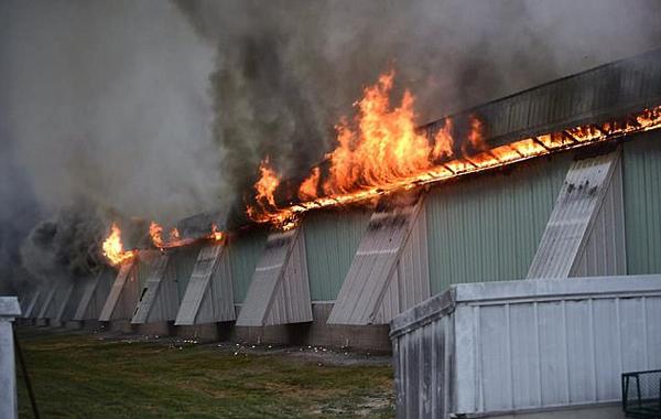 美养鸡场鸡舍遭大火席卷 逾10万蛋鸡被活活烧死