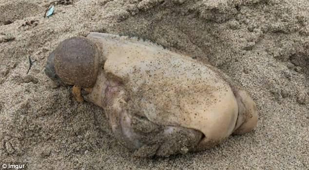 加州海岸搁浅不明生物 无嘴无眼身体似肿块