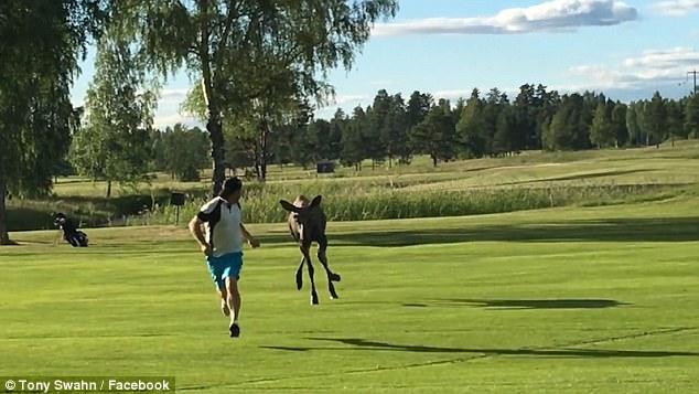 尴尬!瑞典1高尔夫球手被驼鹿追赶引网友吐槽