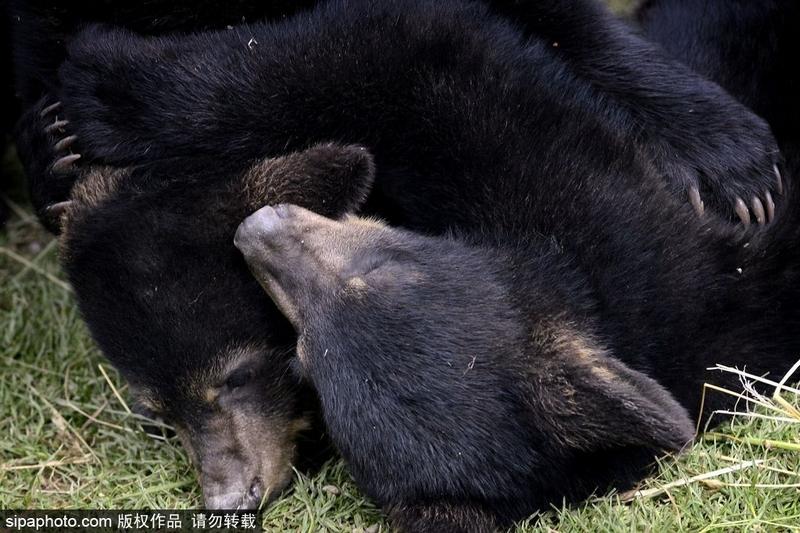 捷克黑熊幼崽玩耍互掐样子呆萌