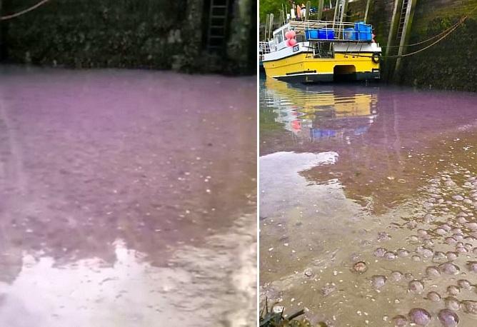 """叹为观止!英港口现数万海月水母""""染紫""""海面"""