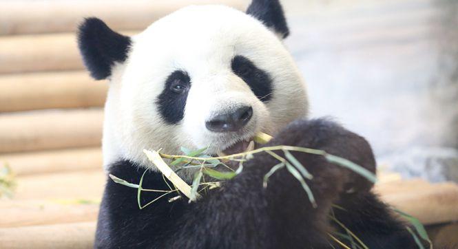 德国柏林两只大熊猫正式亮相 啃竹子停不下来
