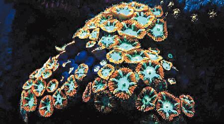 深海珊瑚为什么发光?原因居然是这个