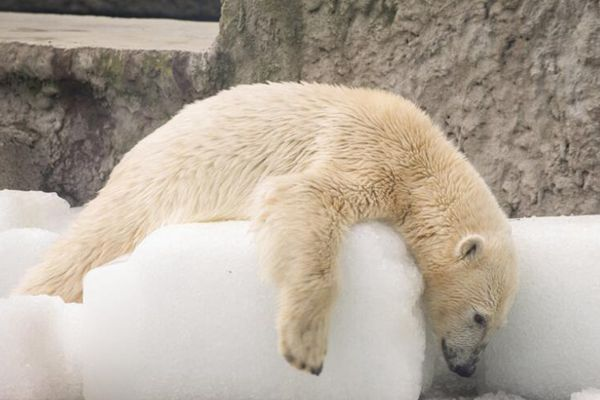 30度高温天气 北极熊热瘫趴冰块上消暑