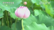 上海:接天莲叶无穷碧 千亩荷花迎客来