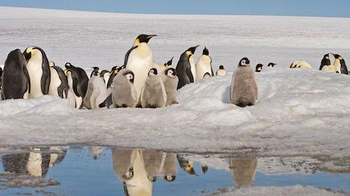 帝企鹅或在本世纪末消失