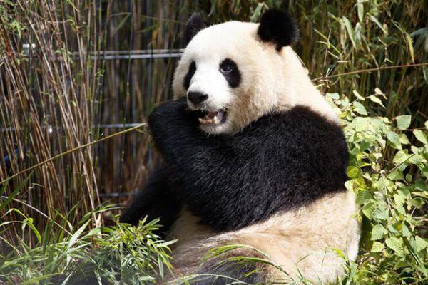 旅德大熊猫的异乡生活 忙吃吃忙卖萌