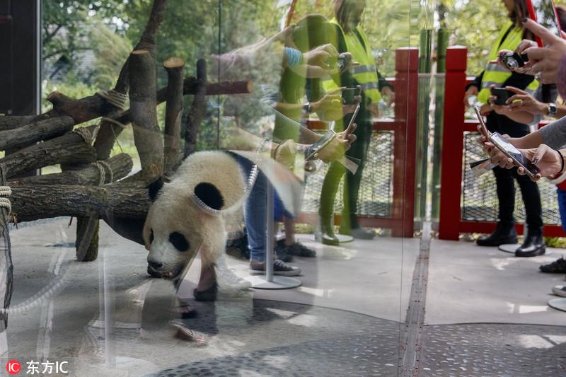 """它和另外一头熊猫""""娇庆""""将在柏林动物园生活15年."""