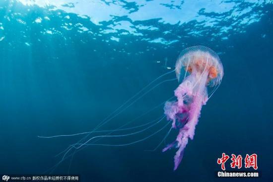 泰国海滩毒水母肆虐 逾百游客被蛰伤无生命危险