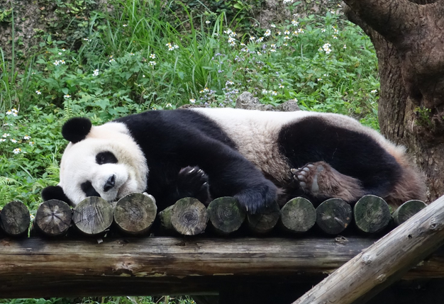 """赠台大熊猫后代""""圆仔""""过4岁生日 样子呆萌惹人爱"""