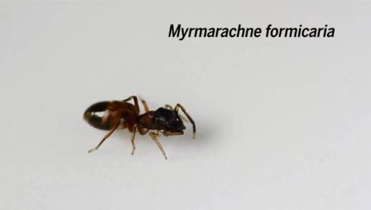 科学家发现这种蜘蛛行走似蚂蚁