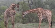 长颈鹿啃食水牛骨头