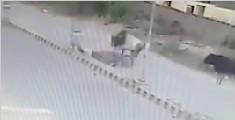 印度牛无端怒顶路过骑车人