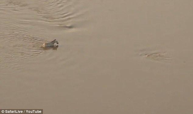 猜中开头猜不中结尾:斑马躲过鳄鱼却没逃过狮口