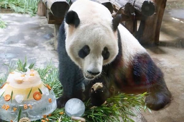 """大熊猫兄弟生日宴 开心享用""""冰蛋糕"""""""