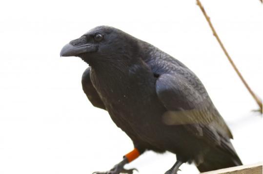 研究:乌鸦可像人类一样在做事前进行计划安排