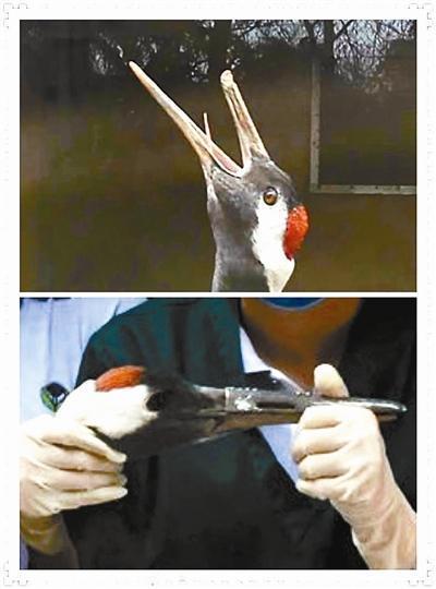 """动物园为丹顶鹤做3D打印""""钛合金鸟嘴"""""""