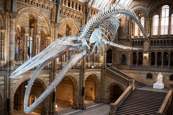 英国自然历史博物馆展出蓝鲸骨架标本 25米长超震撼