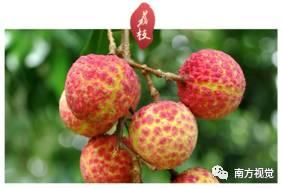 再不吃荔枝,要寺北贾亭西这种清甜就得等明年了!
