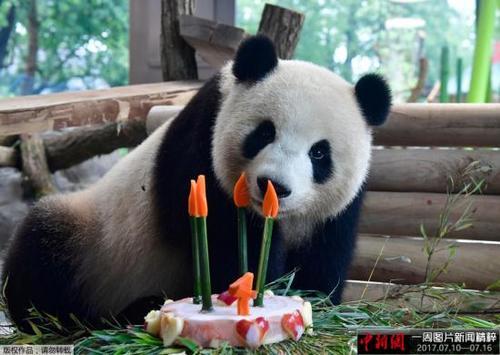 """中国侨网当地时间2017年7月10日,德国柏林,来自中国的大熊猫""""梦梦""""庆祝四岁生日,享用美味蛋糕。"""