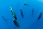 抹香鲸群竖立打盹画面