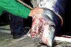 渔民河中捕获2米长鲭鲨