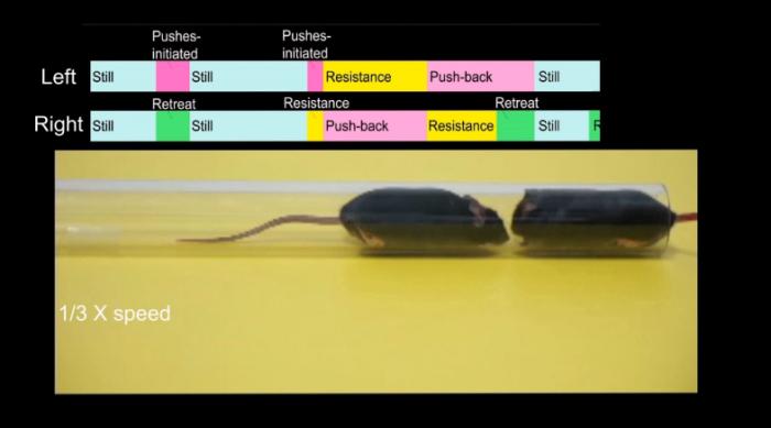 大脑植入物将胆小的小鼠变成好斗的小鼠